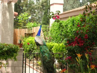 Peacock_on_gate_1